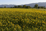 "sunflowers fields in the ""holy valley"" #11, Rieti"