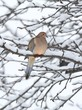 Sleeping Mourning Dove in Snow
