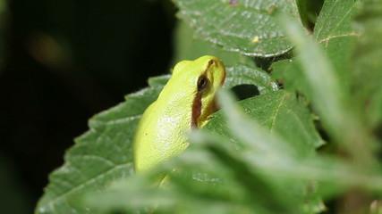 Europäische Laubfrosch - Hyla arborea - Auge zwinkernd