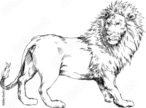hand drawn lion