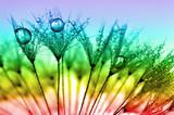 dewy dandelion - 57540440