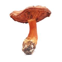 cortinarius orellanus