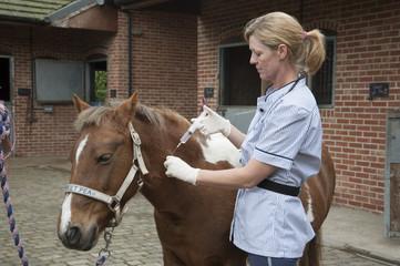 Veterinary nurse treating a Skewball pony Injecting