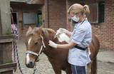 Veterinary nurse treating a Skewball pony Injecting