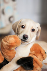 A cute golden labrador puppy with teddy
