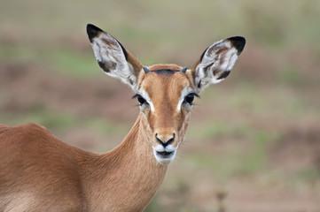 Impala - Serengeti