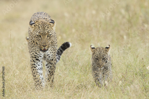 Plexiglas Luipaard Female African Leopard walking with her small cub, Tanzania