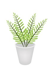 Beautiful Green Fern in A Flower Pot