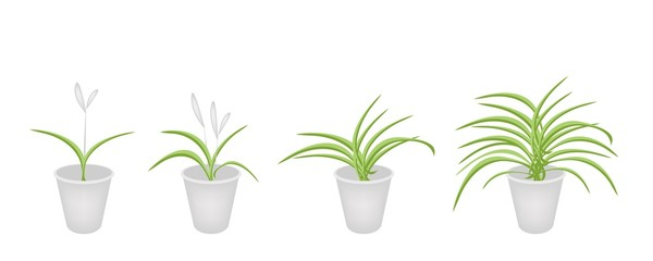 A Set of Dracaena Plant in Flower Pots