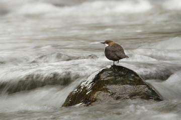 white-throated dipper, river bird, France