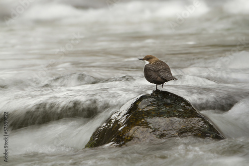 white-throated dipper, river bird, France