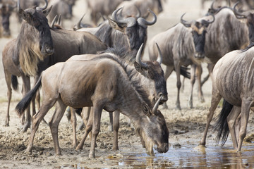 White Bearded Wildebeest on the migration drinking water. Tanzan