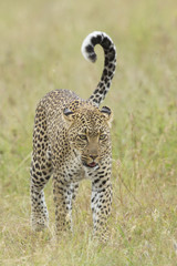 Female African Leopard walking, Tanzania