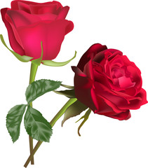 two dark red isolated roses