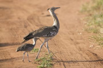 A Female Kori Bustard with her chick, Tarangire, Tanzania