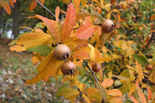 Medlar fruits