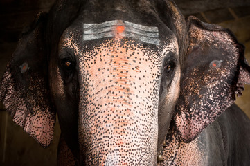 Elephant blessings pilgrims at Hindu Temple