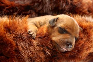 The Miniature Pinscher puppy, 5 day old