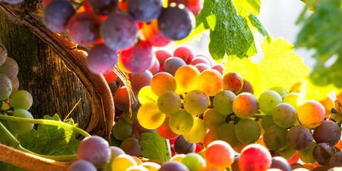 grapes rainbow