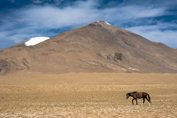 Wild horses at Himalaya mountains . India, Ladakh