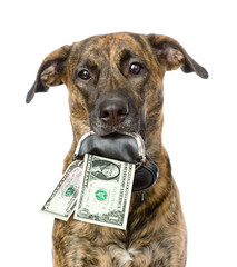 dog holding a purse with dollars in its mouth. isolated on white