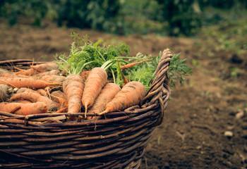 Basket of carrots.