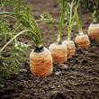 Carrots in the ground