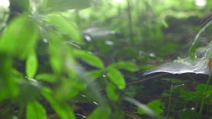 Spider web in the forest - Dolly shot