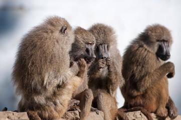 gossip monkey