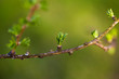 Relaxing larch greenery: closeup of European larch