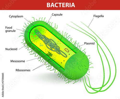 Bacteria cell structure - 57586665