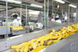 Corn cob on production line in a food industry