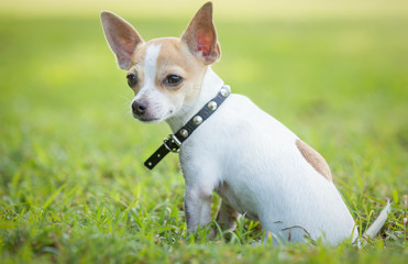 Small chihuahua dog sitting on  green grass