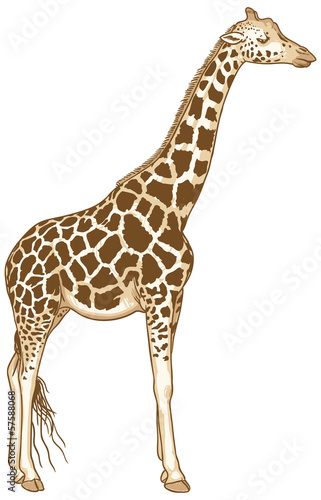 Isolated Giraffe Vector Illustration
