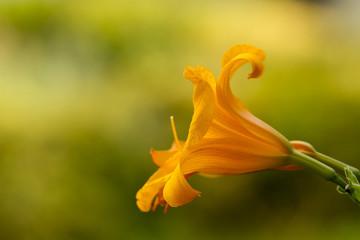 Detalle de hemerocallis flor amarilla, naranja, macro, flora