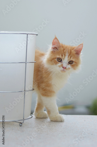 persian tabby cat with bucket
