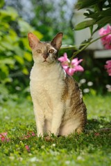 Cornish Rex Cat Sitting on Green Lawn