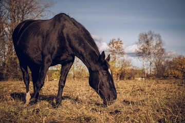 Beautiful black horse feeding outdoors