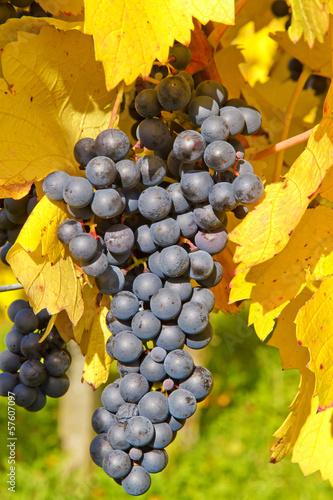 Blaue Weintrauben im Remstal