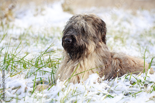 Pale yellow briard dog in snow