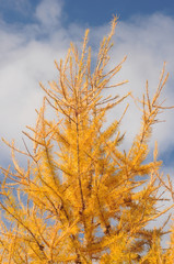 Yellow autumn larch against the blue sky