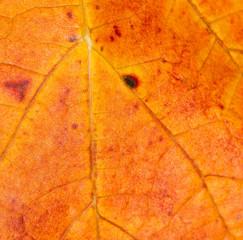 Blattstruktur im Herbst - leaf texture