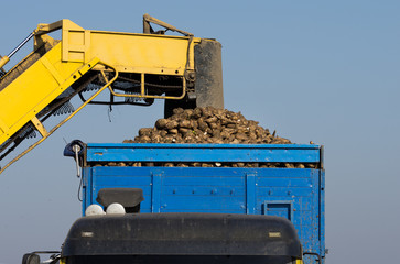 agricultural mechanization dumping sugar beet in trailer