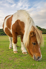 Brown and White Pony Eating Grass