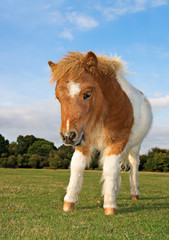 Brown and White Shetland Pony Foal