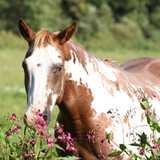 Nice paint horse mare behind purple flowers