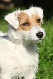 Fantastic Jack Russel terrier in the garden