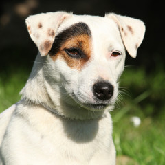 Gorgeous Jack Russel terrier in the garden
