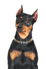 pincher dog portrait
