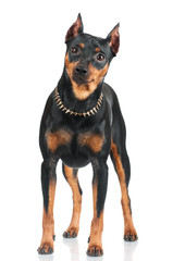 black pincher dog standing portrait